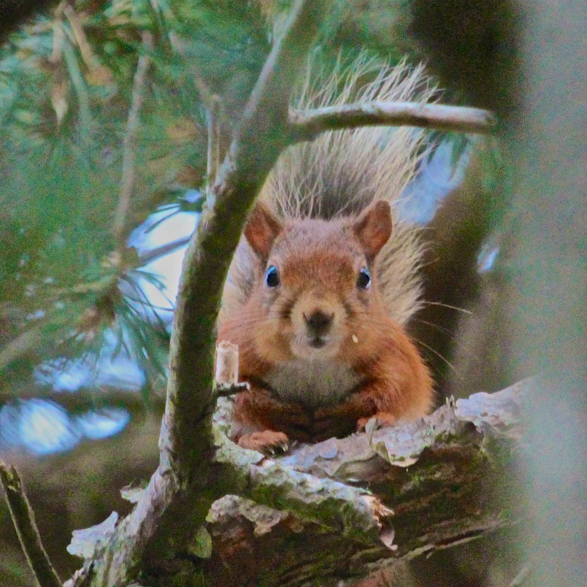 Red Squirrel on Greeley Estate