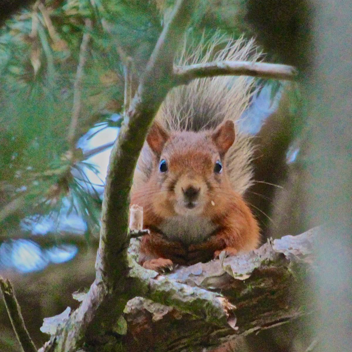 Red Squirrel on Greenlee estate