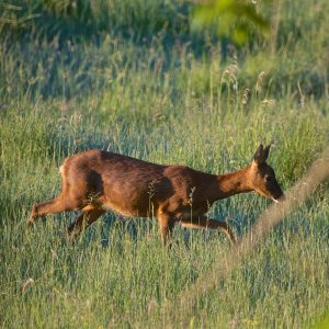 Roe deer in Summer