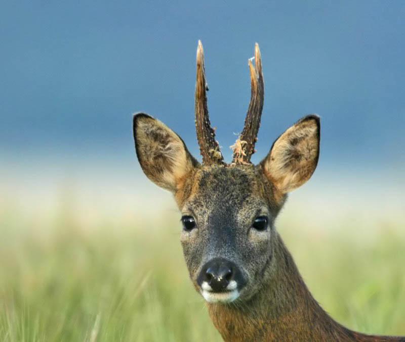 Roe buck deer