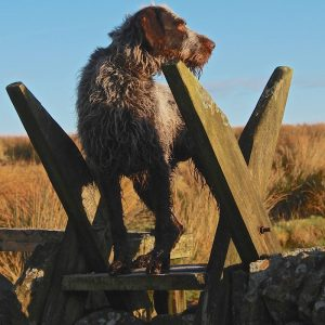 Alfie, the GWP deer dog