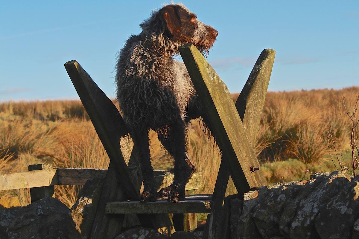 Alfie, the GWP deer dog